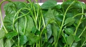Cách chữa đái rắt hiệu quả bằng rau mồng tơi
